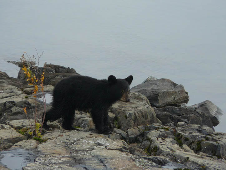 bear at shore