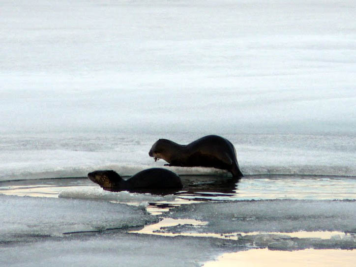 otters having lunch in the spring thaw
