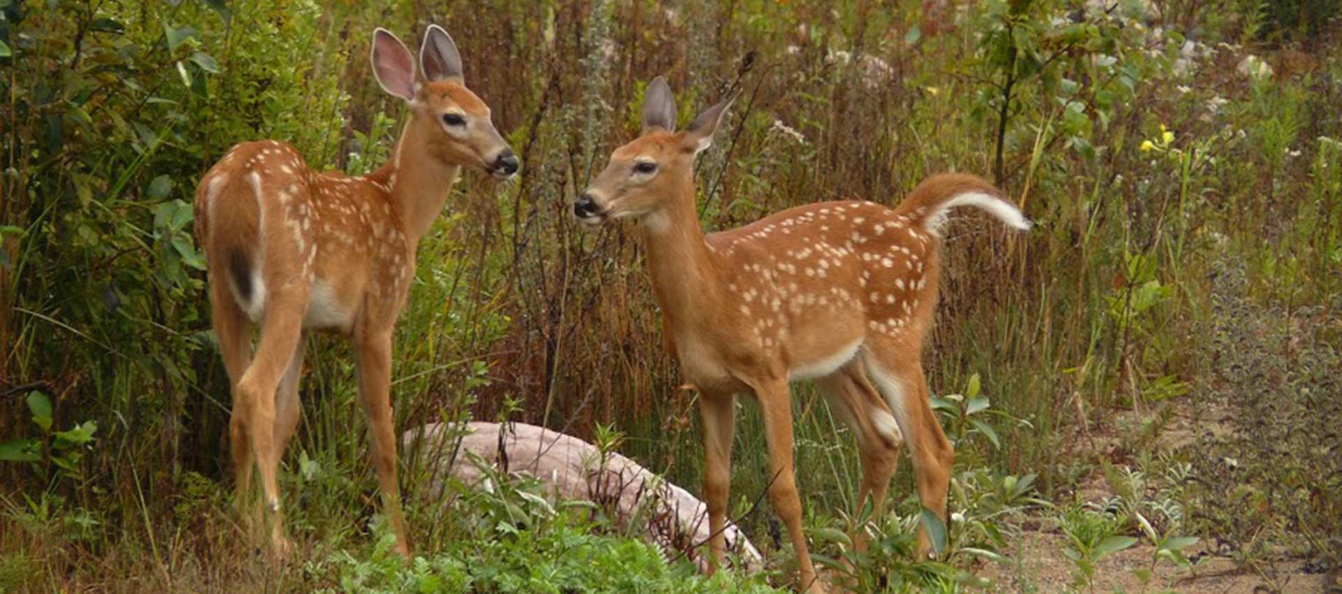 two-fawns-photos